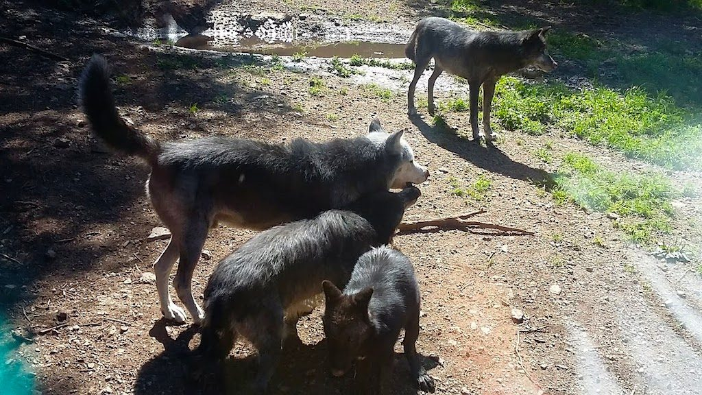 loups alpha
